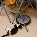 Adorable Cat Plays With Roomba