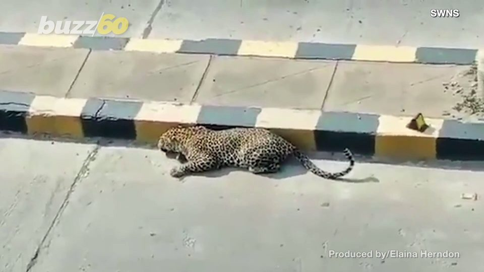 Big Cat Takes a Nap on the Side of the Road!