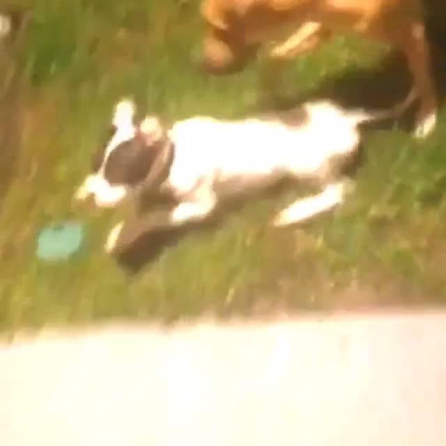 Bigger Dog Knocks Down Smaller Pup While Playing in Yard