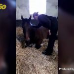 Cop-Clop! Funny Footage Shows a Grumpy Police Horse Being Coaxed to Get up by Trainer!