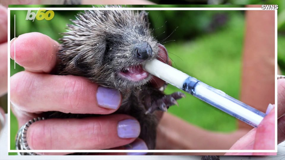Critter Charity! Woman Known as the 'Hedgehog Whisperer' Raises Money for Hedgehog Hospital
