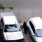 Curious Bear Opens Car Door And Jumps Inside It