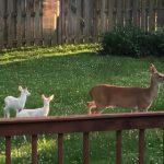 Deer Wanders in Backyard Accompanied by Two Albino Fawns