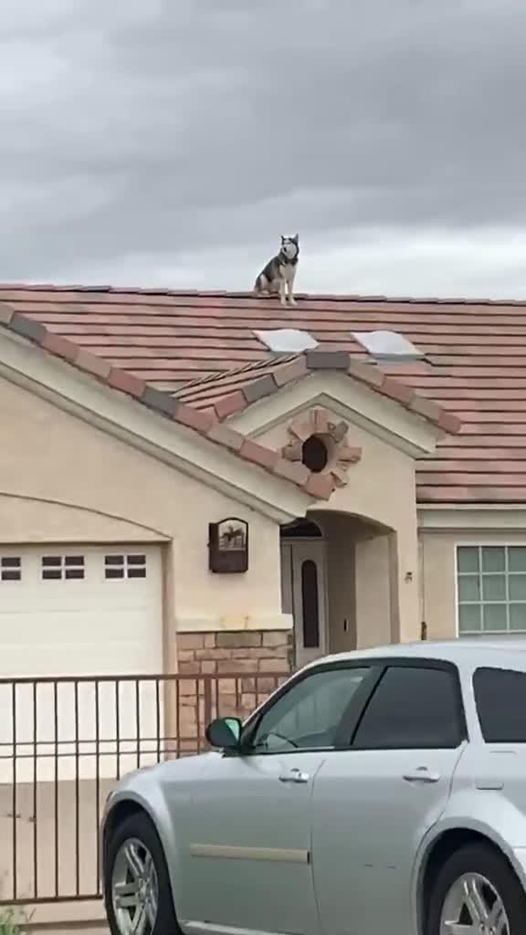 Dog Enjoys Sitting on top of House Roof and Watching People