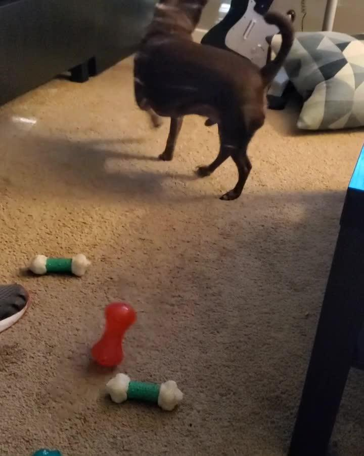 Dog Gets Confused While Playing With Squeaky Toy