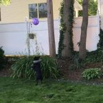Dog Plays With Ballon In Garden