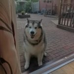 Dog Responds to Owner by Imitating her and Howling