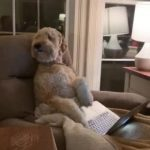 Dog Sits In Man's Chair With His Laptop