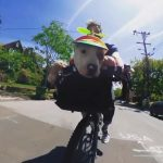 Dog Takes a Bicycle Ride In Neighbourhood While Wearing Helicopter Cap