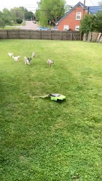 Group of Dogs Chase Remote Control Car in Yard