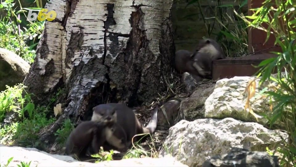 In Otter News! Newborn Otter Pups Make First Appearance Outside!