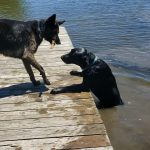 Labrador Jumps off Dock into Water to Retrieve Stick