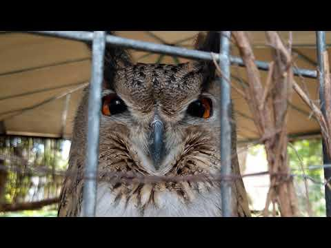 Owl Hoots at Human Who Visits Their Cage Who Hoots at it