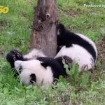 Playful Pandas! Watch Brother & Sister Panda Twins Have an Adorable 'Battle'!