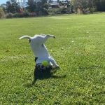 Puppy Takes A Tumble While Catching Ball