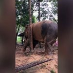 Tree Trunk! Watch This Elephant Use a Whole Tree to Scratch Herself!