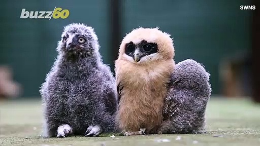 Watch These Baby Owls Chicks Keeping Cool in the Summer Heat