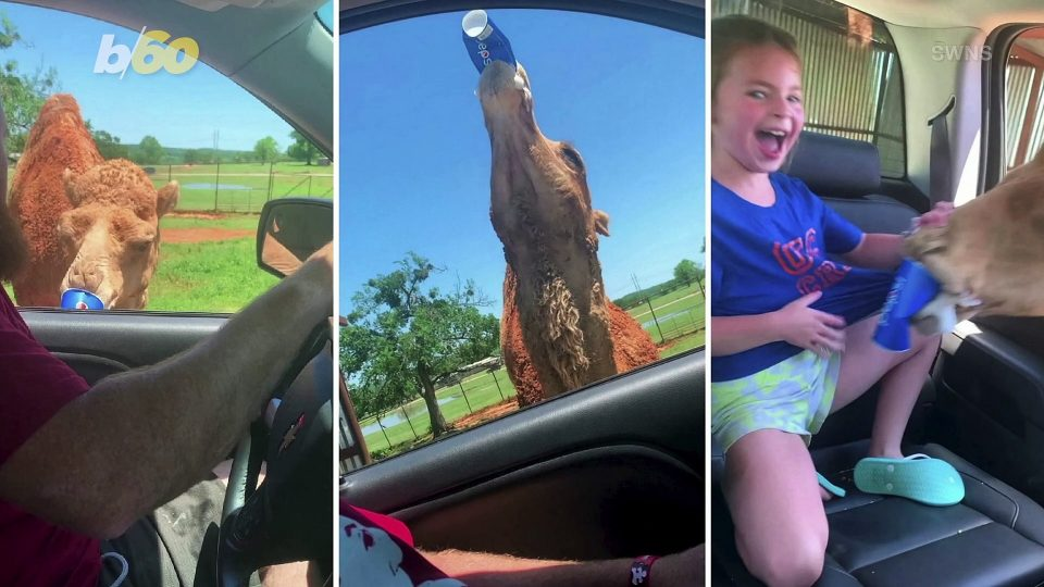 Watch This Hungry Camel Steal a Family's Food From Their Car