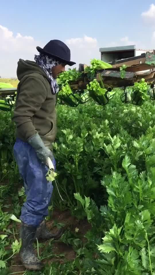 Workers Cut Celery Harvest in Field in Israel