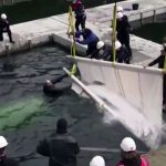 A Taste of Freedom! Beluga Whales Released into Open Water Sanctuary