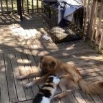Cat Pampers Dog With Belly Rub