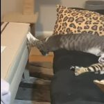 Cat Stretches out and Sleeps on Couch in Funny Position