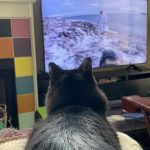 Cat Watches Animal Videos On Television