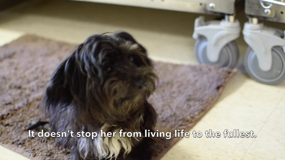 Dog Paralyzed From Waist Down Gets her Own Wheelchair
