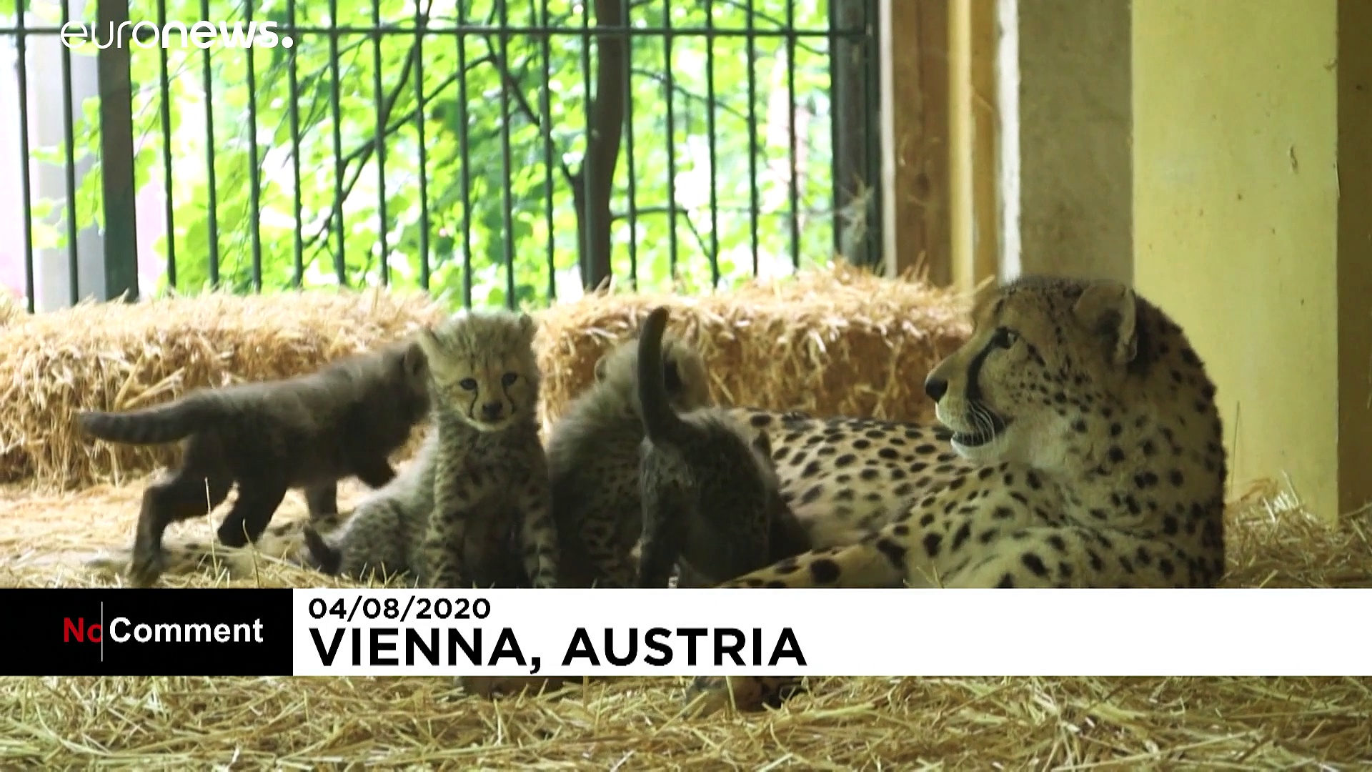 Four cheetah cubs make their first appearance in Austrian zoo