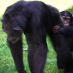 Too Cute! Adorable Baby Chimp Finally Finds New Home