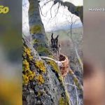 Watch This Cranky Long-Eared Owl Taken Completely by Surprise in Russia