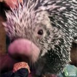 Watch Zookeepers Give This Cute Prickly Porcupine Her Medication via Tasty Treat!