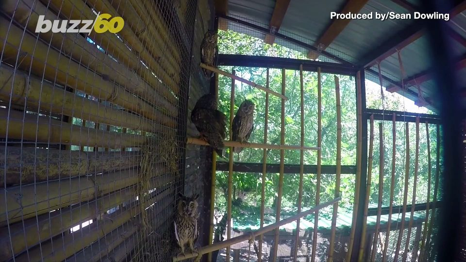 What a Hoot! Owl Chicks Are Nearly as Big as Their Parents in Just 8 Weeks