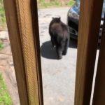 Wild Bear Gets into Unlocked car